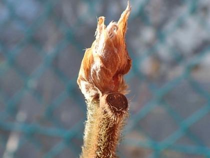 カジノキの冬芽