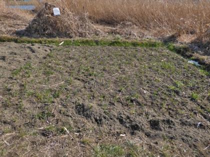 河川敷の畑