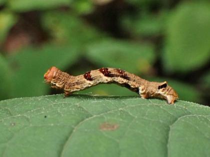 ウスジロエダシャク幼虫
