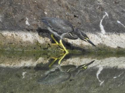 ササゴイの幼鳥
