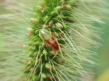 ヒゲナガカメムシ幼虫