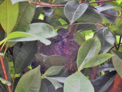 キジバトの幼鳥